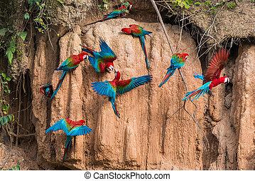 ary, w, glina, lizać, w, przedimek określony przed rzeczownikami, peruwiański, amazon dżungla, na, madre, od, dios, peru