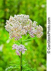 arzneikraut, (achillea, schafgarbe, millefolium)