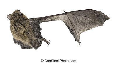 asa,  (common, topo,  pipistrelle), morcego, quebrada, fundo, branca, vista