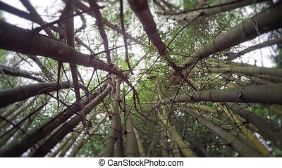 Ascending through a Stand of Giant Bamboo. FullHD 1080p...