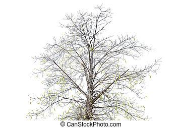asciutto, albero, bianco, fondo.