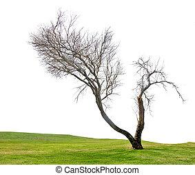 asciutto, albero, bianco, fondo