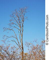 asciutto, albero, sopra, cielo, fondo