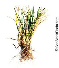 asciutto, erba, bianco