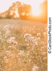 asciutto, erba, fiore, con, luce sole, chiudere, su., bello, giorno estate, in, il, campo
