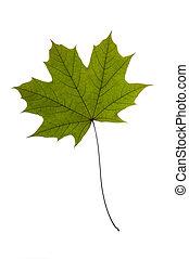 asciutto, foglia, albero, verde bianco, acero