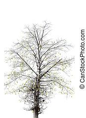 asciutto, fondo., bianco, albero