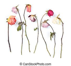 asciutto, rose, bianco, isolato