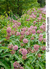Asclepias Flower and Bees - Pink and white Asclepias syriaca...