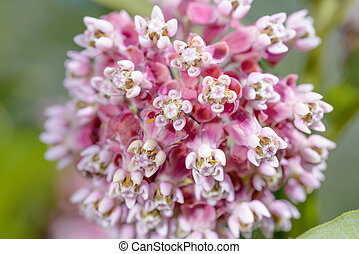 Asclepias Flower - Macro of a pink and white Milkweed flower...