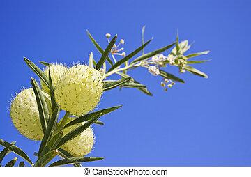 Asclepias fruticosa and clear blue sky - Asclepias...
