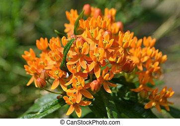 Asclepias tuberosa flower - Asclepias tuberosa in the garden