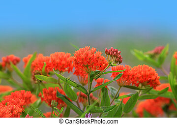 Asclepias tuberosa - Wild flowers widely seen in Michigan...