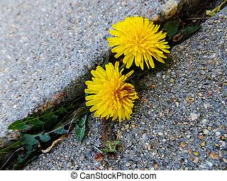 asfalto, dente leone, attraverso, crepa, crescente, fiori