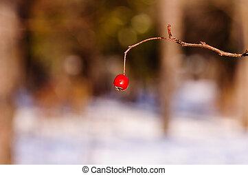 Ash berries in winter frost