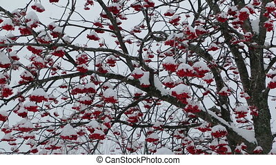 ash-berry red branches under snow at winter
