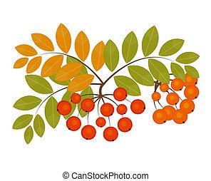 Ash berry - Rowan berry - autumn fruits. Vector illustration