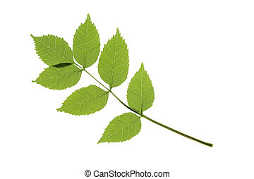 Ash (Fraxinus excelsior) - One leaf of the ordinary ash...