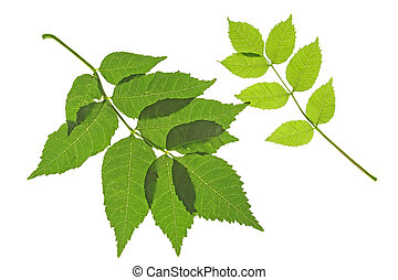Ash (Fraxinus excelsior) - Two leaves of the ordinary ash...