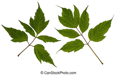 Ash-leaved maple. Maple American