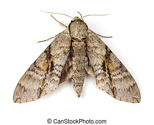 Ash Sphinx Moth (Manduca jasminearum) on a white background