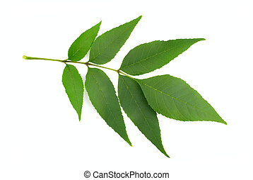 Ash Tree (Fraxinus) Twig and leaves. Isolated on White...