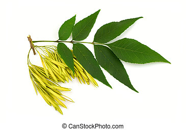 Ash Tree (Fraxinus) Twig, Seeds and Leaves. Isolated on...