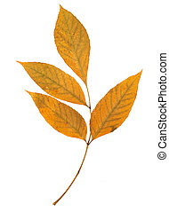 ash tree leaf isolated on the white