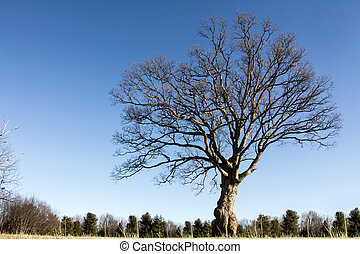 Ash tree on a clear day