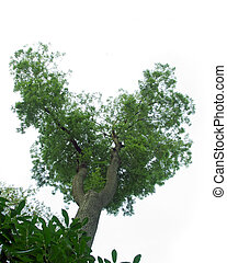 Ash tree on white