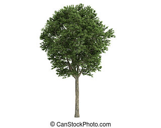 Ash-tree or Fraxinus - Ash-tree or latin Fraxinus isolated...