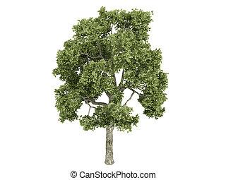 Ash-tree or Fraxiuns - Ash-tree or latin Fraxiuns isolated...