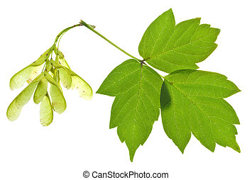 ash tree seeds and green leaves - seeds and green leaves of...