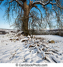 Ash tree snowy scene - Square format of ash tree in a snow...