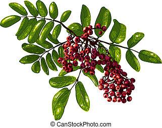 ashberry, bladeren, besjes, samenstelling, tak