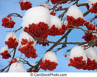 ashberry, neige, sous