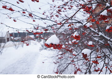 Ashberry on a snowy treebranch.