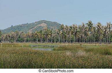 asiático, campo, de, palma coco, árvores, plantação