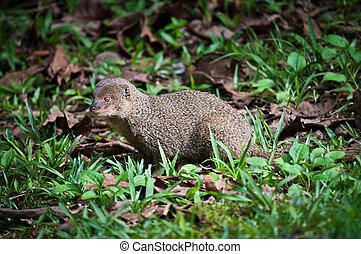 asiático, mongoose