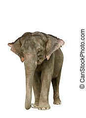 Asia elephant on isolated white background