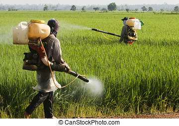 Asia Paddy Field - farmers working at paddy field in...