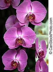 ASIA THAILAND CHIANG MAI orchidee - a orchidee flower in the...