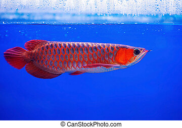 Asian Arowana fish