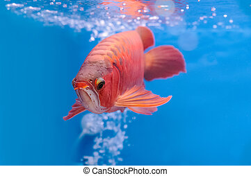 Asian arowana red fish, dragon fish