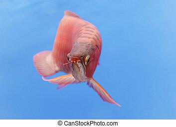 Asian arowana red fish, dragon fish