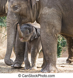 Asian female baby elephant walking between the big legs of her family