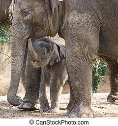 Asian baby elephant walking - Asian female baby elephant...
