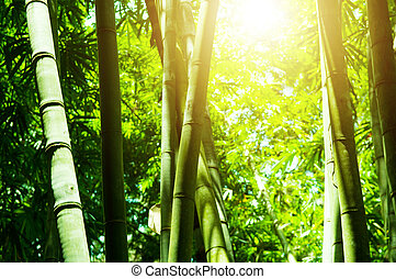 Asian bamboo forest with sun light