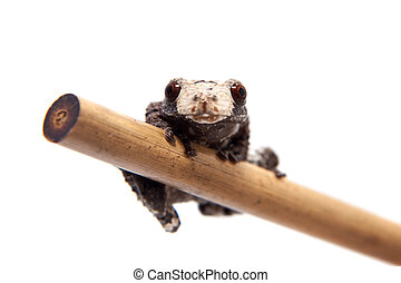 Asian bird poop frog, Theloderma albopunctata, on white -...