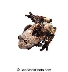 Asian bird poop frog, Theloderma albopunctata, on white -...